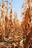 Campo de milho murcho Imagens de Stock