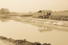 Campo de milho na estação seca, Tailândia Imagens de Stock Royalty Free