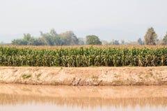 Campo de milho na estação seca, Tailândia Fotografia de Stock