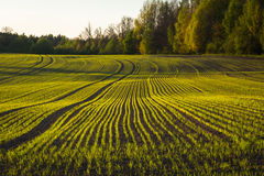 Campo de milho na mola adiantada fotografia de stock