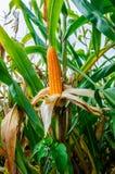 Campo de milho na plantação Imagens de Stock Royalty Free