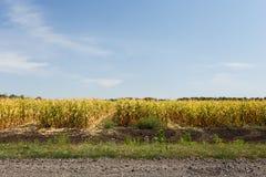 Campo de milho no fim da temporada de verão Imagens de Stock Royalty Free