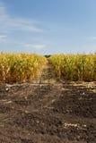 Campo de milho no fim da temporada de verão Fotografia de Stock Royalty Free