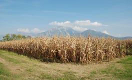 Campo de milho no outono Imagem de Stock Royalty Free