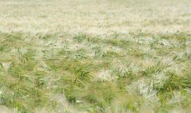 Campo de milho no sol do verão Fotografia de Stock Royalty Free