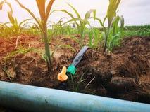 Campo de milho no campo usando o gotejamento que molha, sistema é um recurso agrícola econômico foto de stock