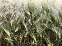 Campo de milho no verão Fotografia de Stock Royalty Free
