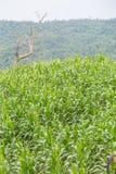Campo de milho nos montes Fotos de Stock Royalty Free