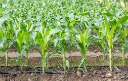 Campo de milho novo com sistema de irrigação do gotejamento foto de stock