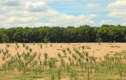 Campo de milho Parched foto de stock