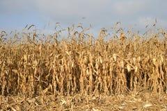 Campo de milho pronto para a colheita Fotos de Stock Royalty Free