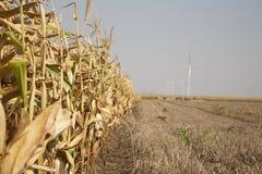 Campo de milho pronto para ser colhido com exploração agrícola de vento em uma distância Imagens de Stock Royalty Free