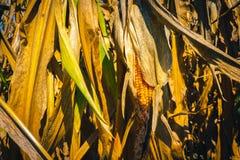 Campo de milho seco fotos de stock