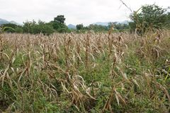 Campo de milho seco imagens de stock