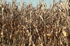 Campo de milho seco foto de stock