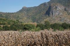Campo de milho seco imagem de stock royalty free