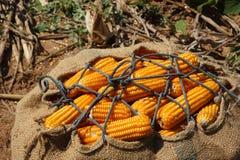 Campo de milho seco imagem de stock