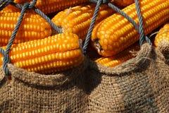 Campo de milho seco fotos de stock royalty free