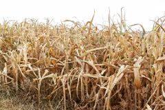 Campo de milho seco Dia de verão quente Falta da chuva Exploração agrícola seca Por do sol espectacular Colheita pobre imagens de stock
