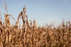 Campo de milho sinistrado Imagem de Stock Royalty Free