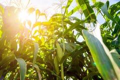 Campo de milho sob um céu azul imagem de stock