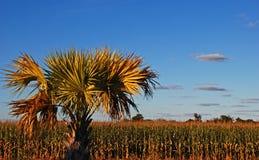 Campo de milho tropical Imagem de Stock