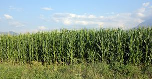 Campo de milho verde Fotos de Stock