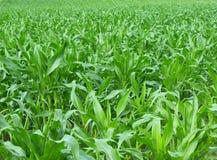 Campo de milho verde Imagens de Stock