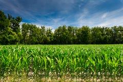 Campo de milho verde Imagem de Stock Royalty Free