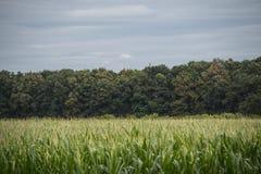 Campo de milho verde campo de milho ascendente próximo no campo, muito milho de Yong crescido para que a colheita venda à fábrica imagens de stock royalty free