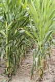 Campo de milho verde campo de milho ascendente próximo no campo, muito milho de Yong crescido para que a colheita venda à fábrica foto de stock