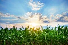 Campo de milho verde, céu azul e sol no dia de verão imagens de stock royalty free