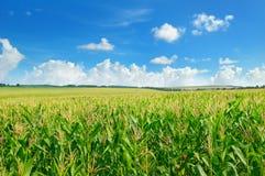 Campo de milho verde e céu azul imagens de stock