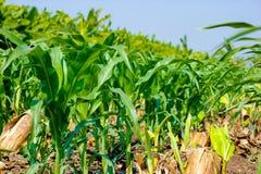 Campo de milho verde verde fresco, exploração agrícola indiana, fotografia de stock