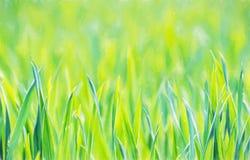 Campo de milho verde na mola, tema agrícola sazonal, illustr Imagem de Stock Royalty Free