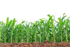 Campo de milho verde no branco Foto de Stock Royalty Free