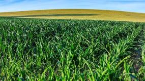 Campo de milho verde no início do verão Fotografia de Stock Royalty Free