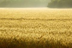 Campo de Misty Sunrise Over Golden Wheat en Kansas central Fotos de archivo