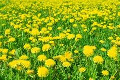 Campo de muchos dientes de león amarillos florecientes imagen de archivo