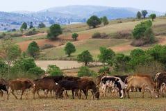 Campo de Myanmar Fotografia de Stock Royalty Free
