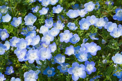 Campo de Nemophila, u ojos de azules cielos (menziesii de Nemophila, campanilla de California) fotografía de archivo