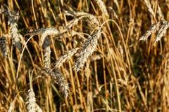 Campo de oídos del trigo en un día soleado Fotografía de archivo