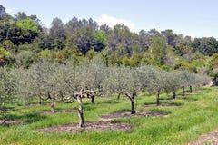 Campo de olivos en el sur de Francia Fotos de archivo libres de regalías