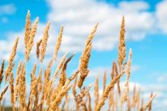 Campo de oro de la avena sobre el cielo azul y algunas nubes Imagen de archivo