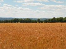 Campo de oro de la cebada durante verano en los lagos finger de nuevo Yor Fotografía de archivo