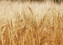 Campo de oro de la cebada en luz del sol Fotos de archivo