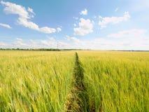 Campo de oro de la tarde de la cebada The Sun sobre los esmaltes del horizonte sobre un campo joven de la cebada Imagen de archivo