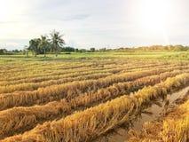 Campo de oro del arroz fotografía de archivo