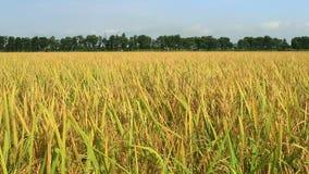 Campo de oro del arroz almacen de metraje de vídeo
