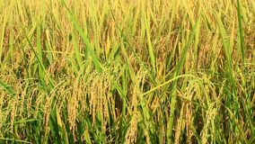 Campo de oro del arroz almacen de video